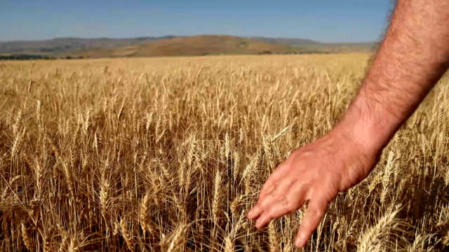 Caressing Wheat Crops
