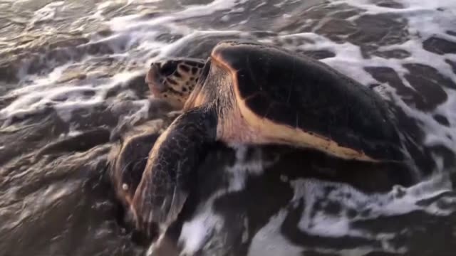caretta carettas which are endangered sea turtles have started to arrive at iztuzu beach in southern turkey volunteers at the sea turtle research... - loggerhead sea turtle stock videos & royalty-free footage