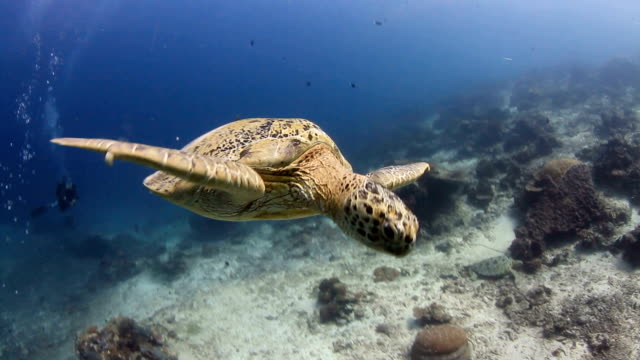 stockvideo's en b-roll-footage met caretta, swimming, sea, coral, ocean - schildpad