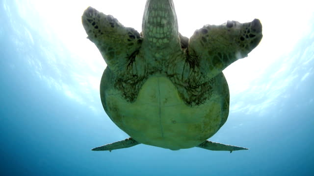 caretta, swimming, sea, coral, ocean - green turtle stock videos and b-roll footage