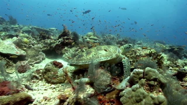 caretta ,swimming, sea, coral,ocean