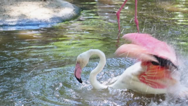 caribbean flamingo - animals in the wild stock videos & royalty-free footage