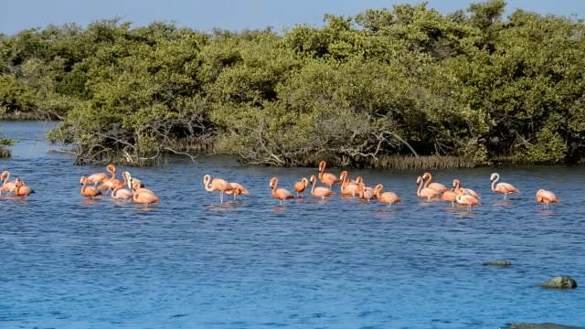 caribbean flamingos in bonaire. - west indies stock videos & royalty-free footage