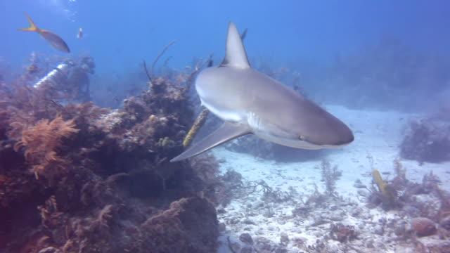 caribbean reef shark at the bottom - caribbean reef shark stock videos & royalty-free footage