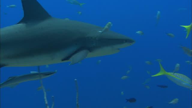 caribbean reef shark, carcharhinus perezi, over reef, remora, echeneidae, bahamas  - caribbean reef shark stock videos and b-roll footage