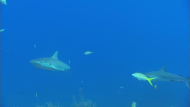 caribbean reef shark, carcharhinus perezi, parasite in gills, s, bahamas  - caribbean reef shark stock videos & royalty-free footage