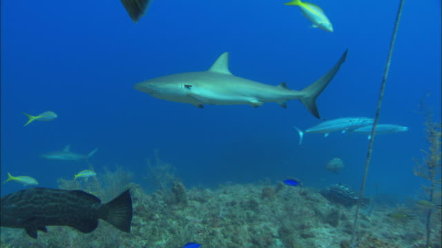 caribbean reef shark, carcharhinus perezi, parasite, rope in gills, bahamas  - gill stock videos & royalty-free footage