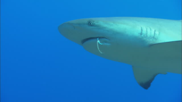 caribbean reef shark, carcharhinus perezi, rope, hook in mouth, bahamas  - hook stock videos and b-roll footage