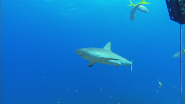 caribbean reef shark, carcharhinus perezi, swim, bahamas  - caribbean reef shark stock videos and b-roll footage