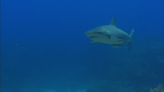 caribbean reef shark, carcharhinus perezi, swims, bahamas  - caribbean reef shark stock videos and b-roll footage