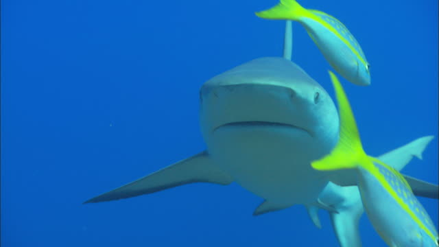 caribbean reef shark, carcharhinus perezi, swims over camera, bahamas  - ペレスメジロザメ点の映像素材/bロール