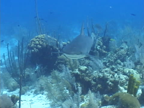 caribbean reef shark cruising over reef towards camera - タークスとケイコス諸島点の映像素材/bロール