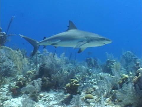 caribbean reef shark, cruising over reef, turks & caicos, west indies.  - caribbean reef shark stock videos and b-roll footage