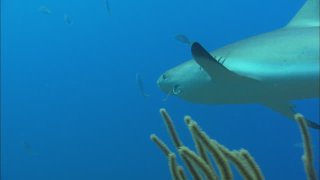 caribbean reef shark, hook in mouth, bahamas  - caribbean reef shark stock videos and b-roll footage