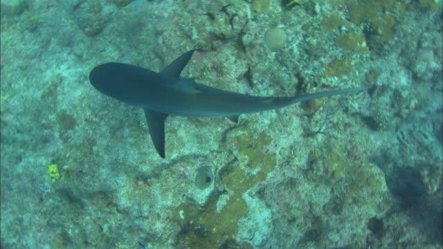 caribbean reef shark, looking down, bahamas  - caribbean reef shark stock videos & royalty-free footage