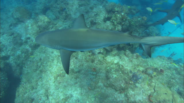 caribbean reef shark, looking down, bahamas  - ペレスメジロザメ点の映像素材/bロール