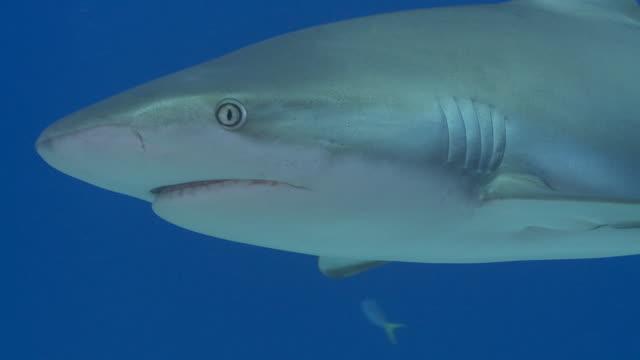 caribbean reef shark school close up - caribbean reef shark stock videos & royalty-free footage