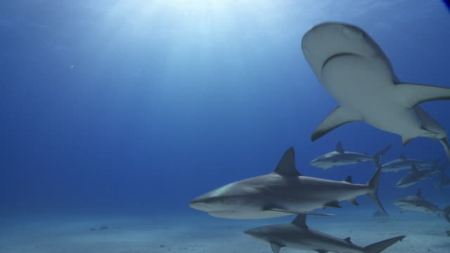 caribbean reef shark school in blue - sunbeam stock videos & royalty-free footage