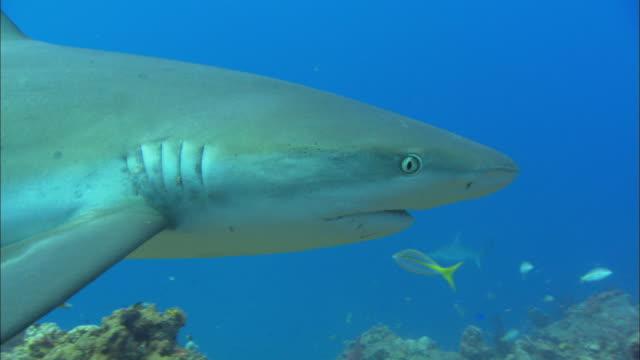caribbean reef shark, swim, bahamas  - ペレスメジロザメ点の映像素材/bロール