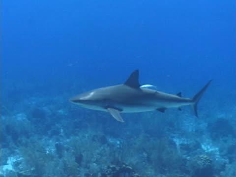 caribbean reef shark swimming over reef - タークスとケイコス諸島点の映像素材/bロール