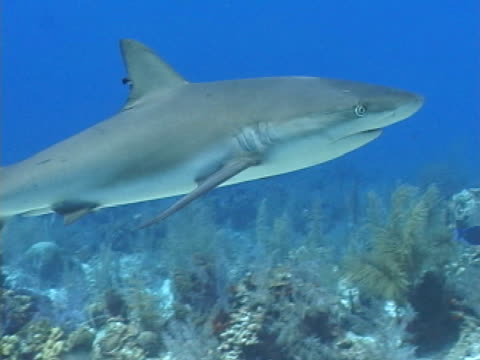 caribbean reef shark swimming over reef - reef shark stock videos and b-roll footage
