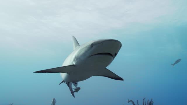 caribbean reef shark - ペレスメジロザメ点の映像素材/bロール