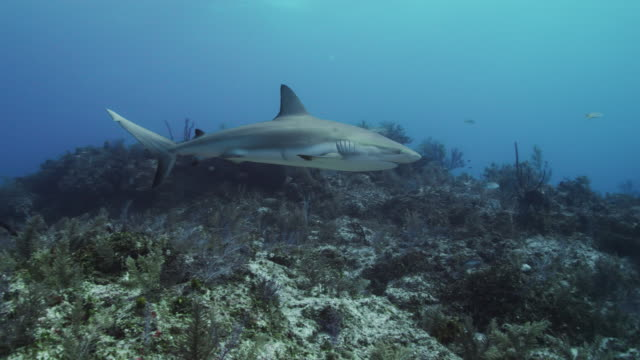 caribbean reef shark - caribbean reef shark stock videos & royalty-free footage