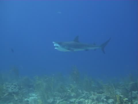 caribbean reef shark - nassau stock videos & royalty-free footage