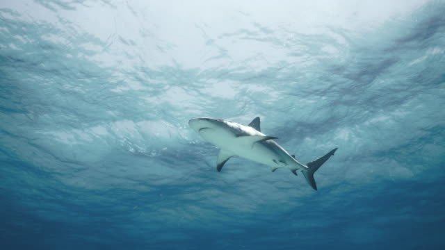 caribbean reef shark - caribbean reef shark stock videos and b-roll footage