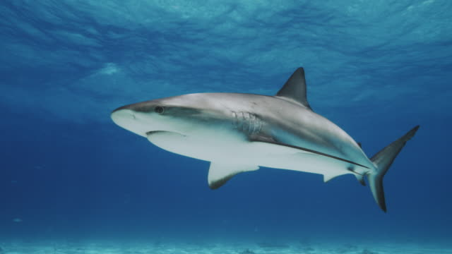 caribbean reef shark - shark stock videos & royalty-free footage