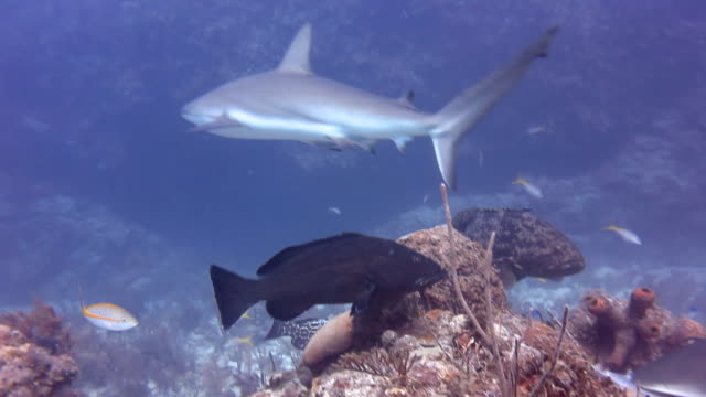 caribbean reef sharks and giant groupers - reef shark stock videos and b-roll footage