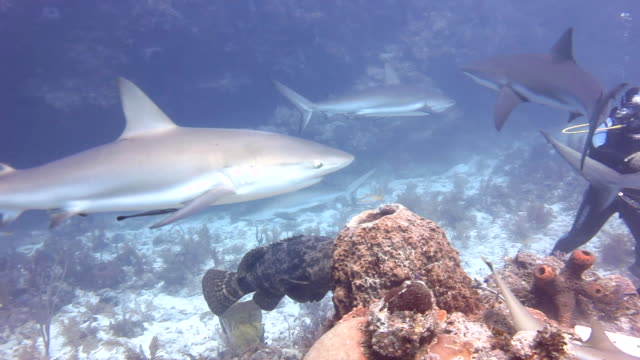 Caribbean Reef Sharks And Grouper