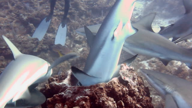 caribbean reef sharks attack a barrel sponge which contains the bait box during a baited shark dive at gardens of the queens national park in southern cuba. - caribbean reef shark stock videos and b-roll footage