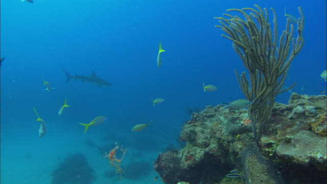 caribbean reef sharks, carcharhinus perezi, cross over reef, bahamas  - ペレスメジロザメ点の映像素材/bロール