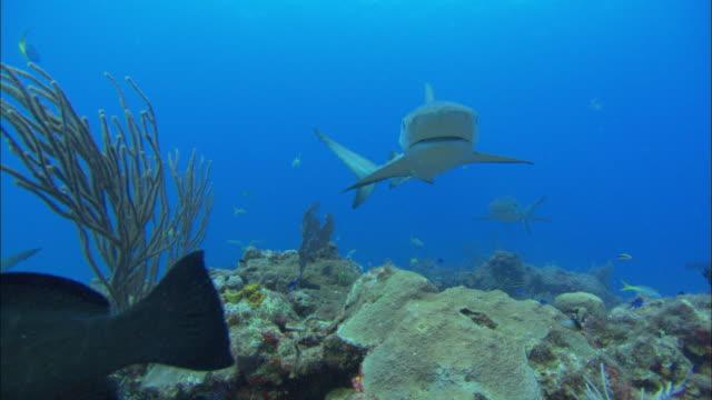 caribbean reef sharks, carcharhinus perezi, over reef, bahamas  - caribbean reef shark stock videos & royalty-free footage