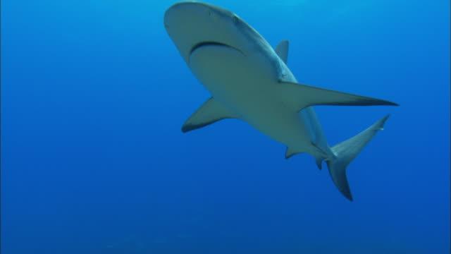 caribbean reef sharks, carcharhinus perezi, over reef, bahamas  - gruppo medio di animali video stock e b–roll