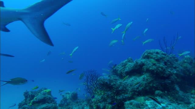 caribbean reef sharks, carcharhinus perezi, over reef, grouper. bahamas  - ペレスメジロザメ点の映像素材/bロール
