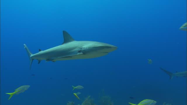 caribbean reef sharks, carcharhinus perezi, over reef, parasite on gill. bahamas  - ペレスメジロザメ点の映像素材/bロール