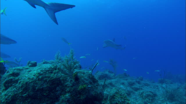 Caribbean reef sharks, Carcharhinus perezi, over reef, yellowtail snappers. Bahamas