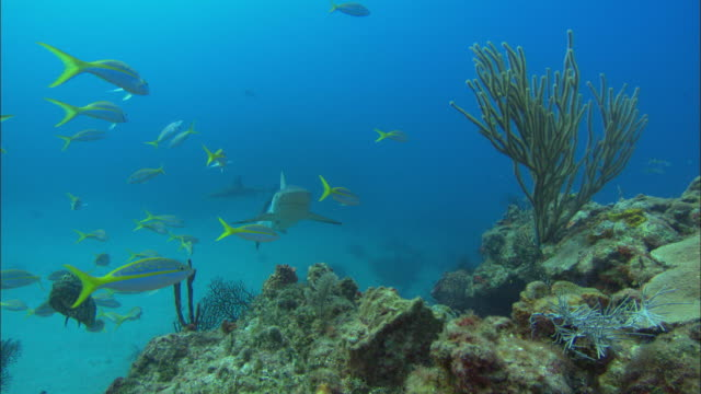caribbean reef sharks, carcharhinus perezi, swim over reef, bahamas  - ペレスメジロザメ点の映像素材/bロール