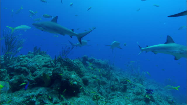 caribbean reef sharks, carcharhinus perezi, swims over reef, over camera, bahamas  - ペレスメジロザメ点の映像素材/bロール