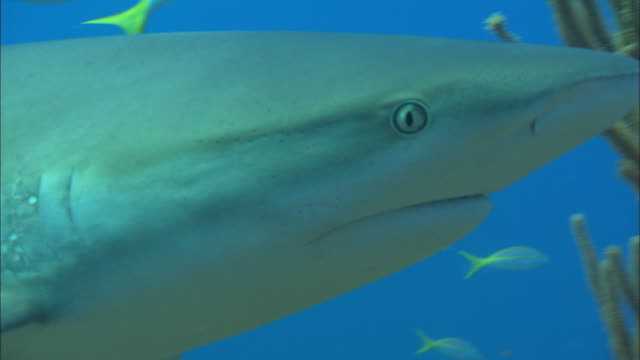 Caribbean reef sharks, Carcharhinus perezi, yellowtail snappers, swim over reef, Bahamas