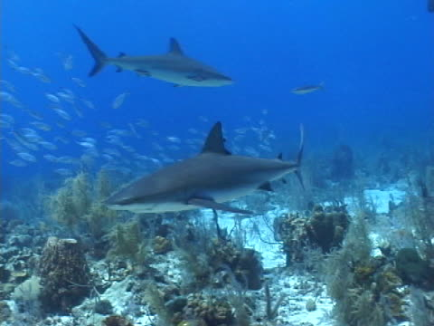 caribbean reef sharks swimming with school of jacks in the background - mittelgroße tiergruppe stock-videos und b-roll-filmmaterial