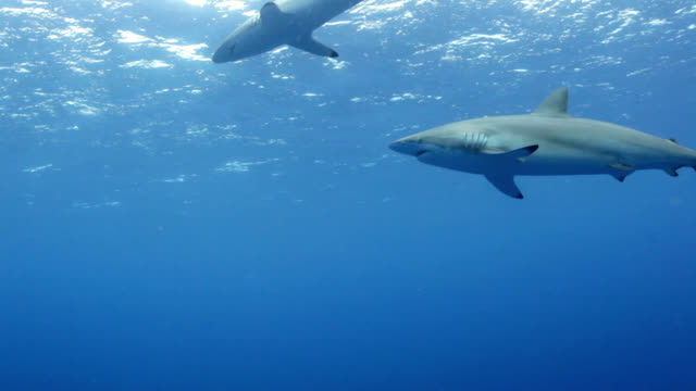 caribbean reef sharks - reef shark stock videos and b-roll footage