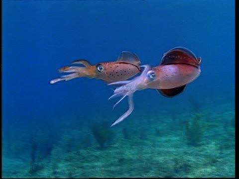 Caribbean Reef Squid (Sepioteuthis sepioidea) male display to female