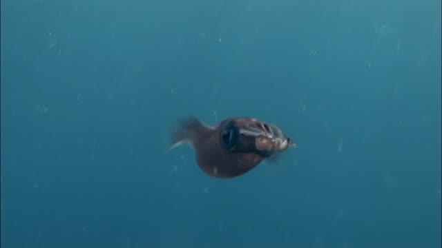 ms, ts, caribbean reef squid (sepioteuthis sepioidea) underwater, peter island, british virgin islands, united kingdom - atlantic ocean stock videos & royalty-free footage