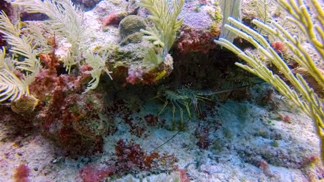 caribbean spiny lobster ( panulirus argus langouste ) on great maya reef in caribbean sea near akumal bay - riviera maya / cozumel , quintana roo , mexico - mayan riviera stock videos & royalty-free footage