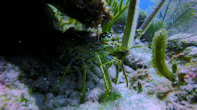 Caribbean spiny lobster ( Panulirus argus langouste ) on Great Maya Reef in Caribbean Sea near Akumal Bay - Riviera Maya / Cozumel , Quintana Roo , Mexico