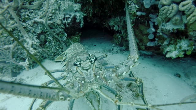 ms caribbean spiny lobster (panulirus argus) retreating - ロブスター点の映像素材/bロール