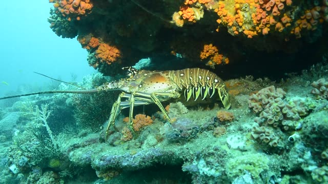 caribbean spiny lobster. - lobster animal stock videos & royalty-free footage